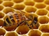 عسل بهترین آنتیبیوتیک برای بدن