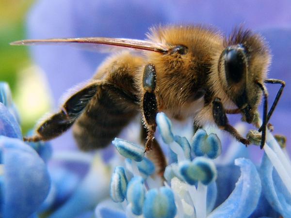 چرا زنبور ها بعد از نیش زدن میمیرند؟