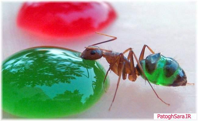 مورچه های رنگی زیبا